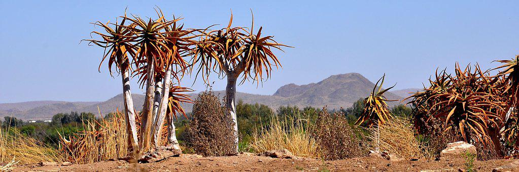 Nature, Desert, Dry, Outdoors, Flora Aloe, Travel, Tree