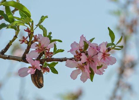 Flower, Branch, Nature, Tree, Flora, Almond, Season