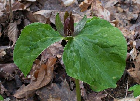 Trillium Recurvatum, Trillium, Wake Robin, Wildflower
