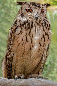 Raptor, Owl, Bird, Wildlife, Prey, Nature, Animal
