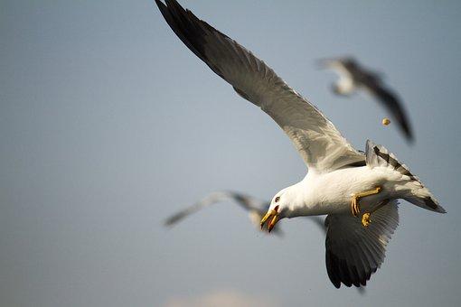 New, Flight, Wildlife, Nature, Seagull