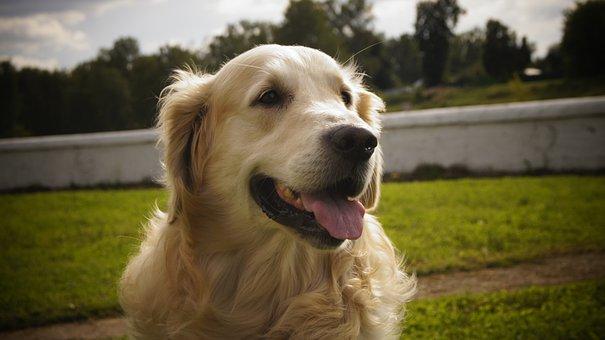Dog, Grass, Animals, Cute, Pet, Retriever, Portrait