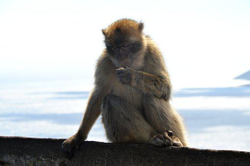 Barbary Ape, Monkey Rock, Gibraltar