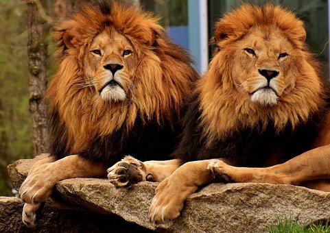 Lion, Predator, Dangerous, Mane, Cat, Male, Zoo