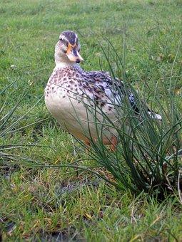 Bird, Duck, Striped, Grass, Country