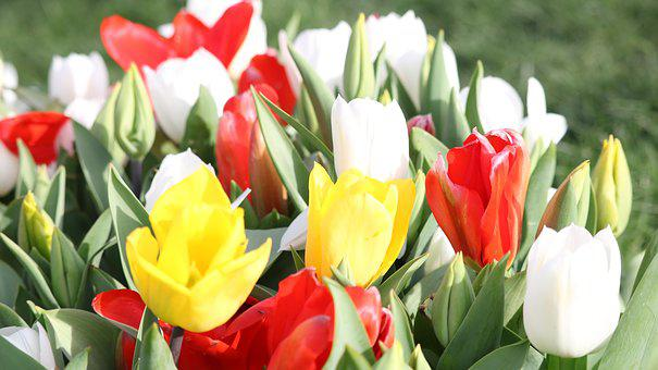 Tulip, Flower, Nature, Plant, Garden, Leaves, Easter