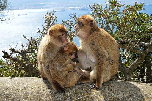 Berber Monkeys, Monkey Rock, Gibraltar