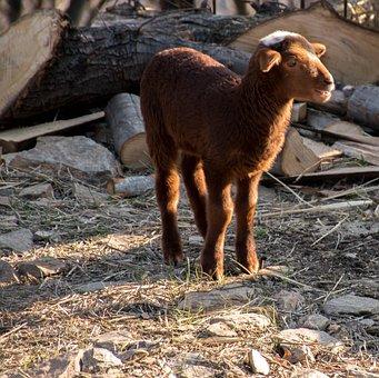 Mammal, Sheep, Livestock, Agro-industry, Wool, Nature