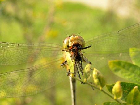 Nature, Insect, Dragonflies Różnoskrzydłe, Animals