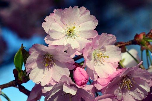 Cherry Blossoms, Ornamental Cherry, Cherry, Blossom