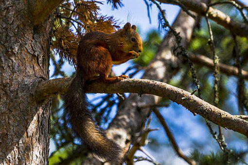 Three, The Nature Of The, Pine, Squirrel