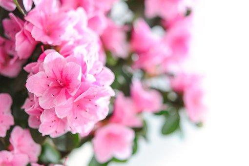 Pink Flowers, Flower, Nature, Plant, Garden, Floral