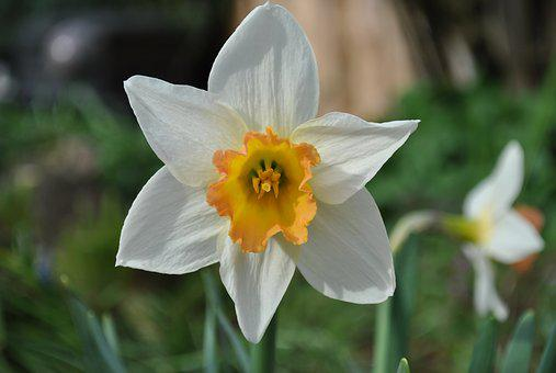 Flower, Nature, Narcissus, Plant, White Daffodil