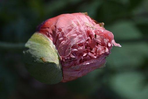 Flower, Nature, Plant, Leaf, Close, Garden, Poppy, Bud