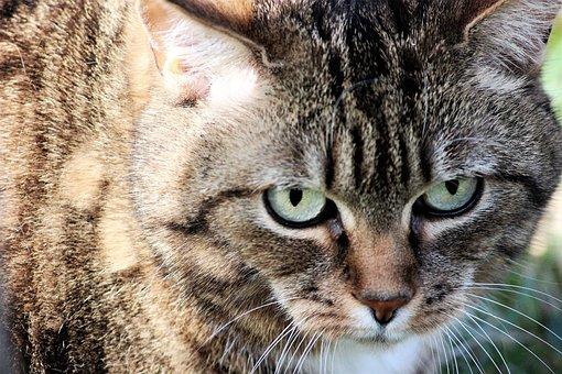 Cat, Fur Eyes, Animal, Domestic Cat, View, Portrait
