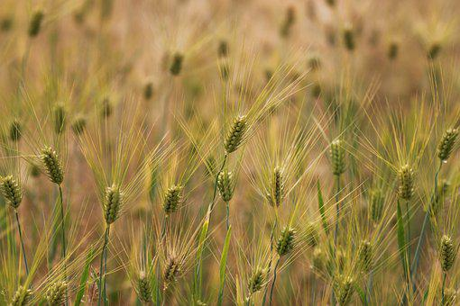 Wheat, S, Rural Areas, Ranch, Crops, The Farm, Nature