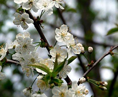Flower, Blooming, Blooming Tree, Spring, Tree