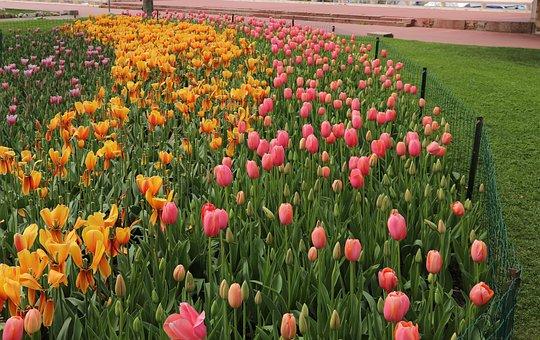 Flower, Tulip, Nature, Field, Plant, Garden, Summer