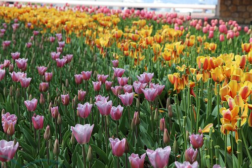 Flower, Tulip, Plant, Nature, Garden, Field, Summer