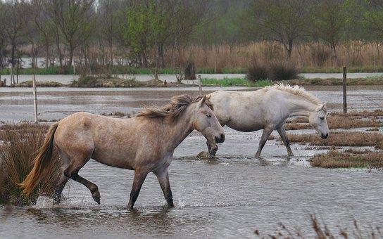 Animals, Horses, Nature, Camargue, Water
