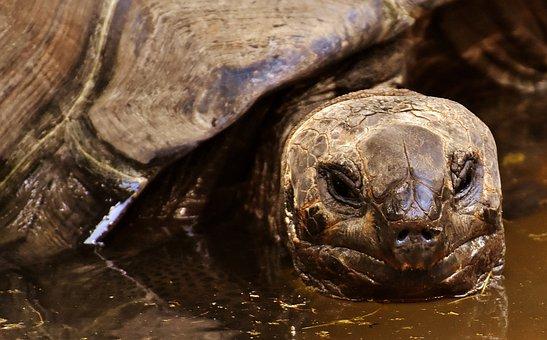 Giant Tortoises, Animals, Water, Panzer, Zoo, Turtle