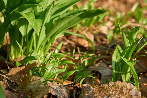Bear's Garlic, Allium Ursinum, Wood Garlic