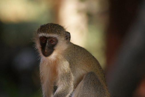 Monkey, Primate, Animal World
