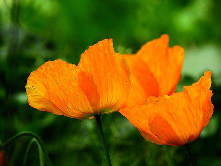 Klatschmohn, Orange, Back Light, Filigree, Fine, Green
