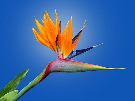 Caudata, Strelitzia, Bird Of Paradise Flower
