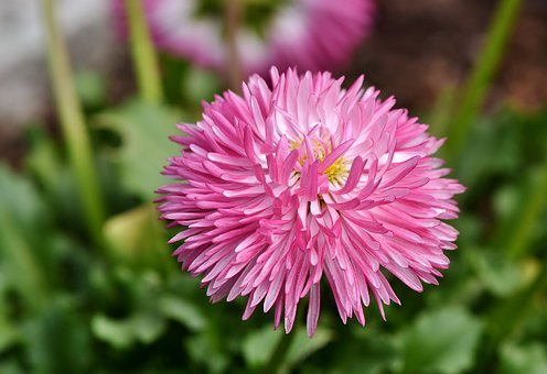 Aster, China Aster, Blossom, Bloom, Flower, Bloom