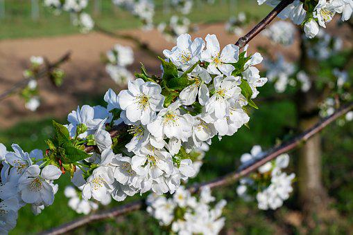 Cherry Trees, Bloom, Kaiserstuhl, Spring, Fruit Tree