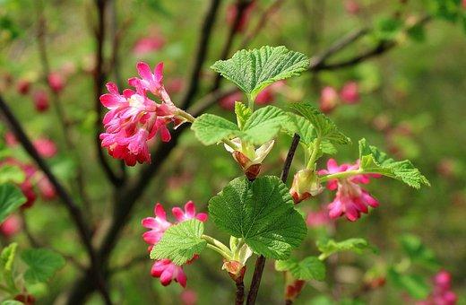 Currant Decorative, Ornamental Shrub, Nature, Flower