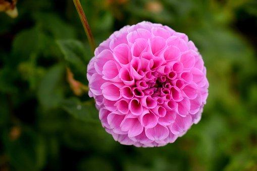 Nature, Flower, Garden, Summer, Flora, Dahlia