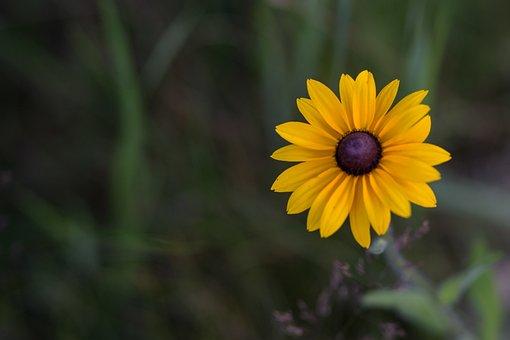 Nature, Flora, Flower, Summer, Blackeyed Susan