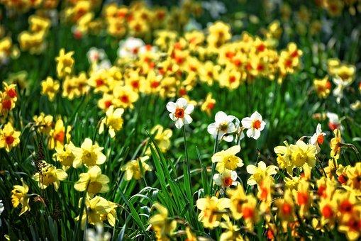 Daffodil, Flower, Narcissus, Bulbous, Perennial