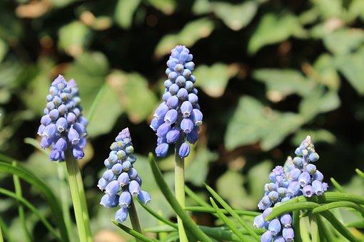 Armenian Grape Hyacinth, Flower, Spring, Nature