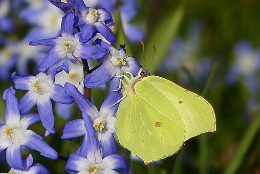 Plant, Flower, Blue Asterisk, Scilla, Early