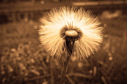 Seed Head, Puff Ball, Hawksbeard, Flower, Plant