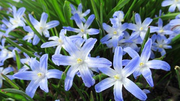 Star Hyacinth, Flower, Flora, Garden, Spring