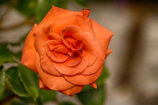 Flower, Nature, Rose, Plant, Petal, Leaf, Flowers