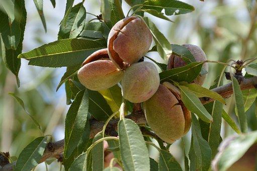 Fruit, Food, Leaf, Flora, Nature, Tree, Branch, Almond
