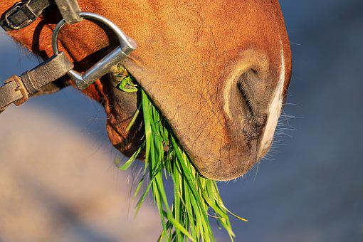 Horse Snout, Nostrils, Close Up, Animal, Grass, Eat