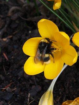 Crocus, Yellow, Hummel, Frühlingsblüher, Spring, Flower