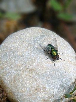 Botfly, Bright, Metallic, Iridescent, Fly, Fly Vironera