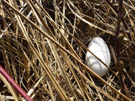 Egg, White, Large, Nest