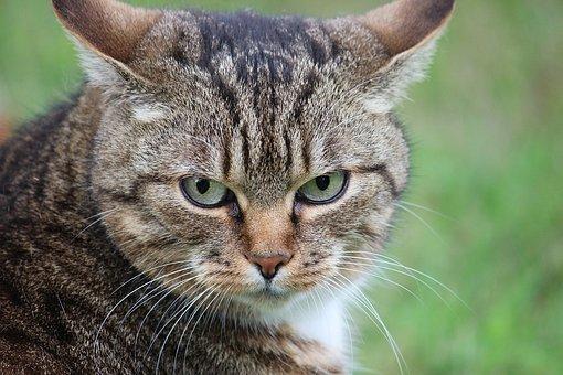 Pet, Cat, Domestic Cat, Mackerel, Cat Face, Mieze
