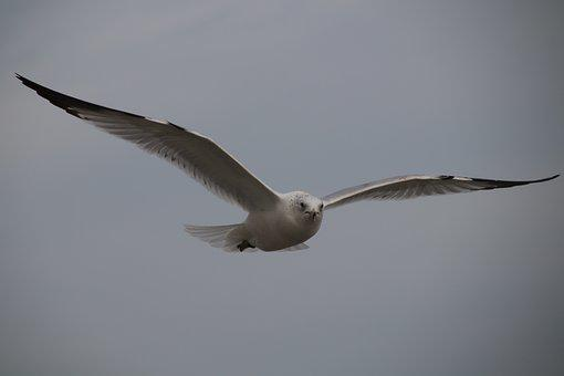 Bird, Wildlife, Nature, Seagulls, Flight, Myrtle Beach