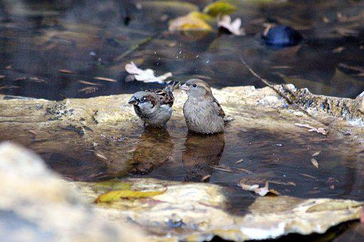 Sparrow, Passer Domesticus, Nature, Water, Outdoors