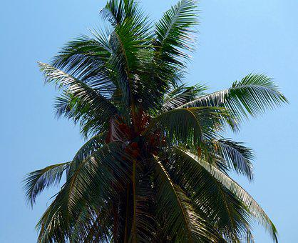 Palm, Tropical, Tree, Beach, Summer, Coconut, Paradise