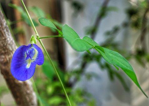 Clitoria Ternatea, Butterfly, Pea, Edible, Tea, Flower